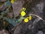 fiori,arbusti,cappero,anthirrinum,blackstonia